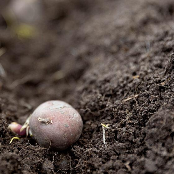 (Dansk) kartoffelmark