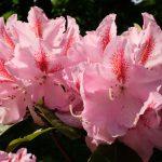 Rododendronparken ved Nivaagaards Malerisamling
